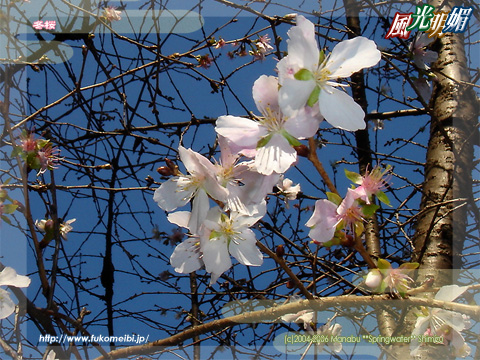 Fuyuzakura - Cherry blossoms that bloom in winter