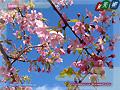 Kawazu-Zakura cherry blossoms