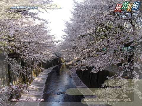 Shakujiigawa river. Roadside trees of cherry blossoms