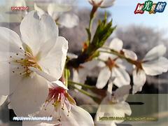 Someiyoshino cherry tree