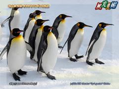 旭山動物園 オウサマペンギンの散歩
